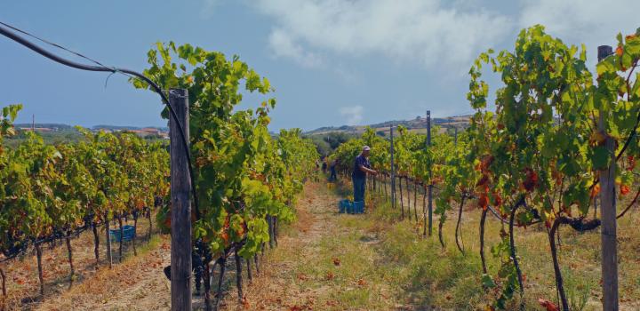 filomena greco vino greco calabria